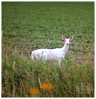 Albino Deer In Iowa
