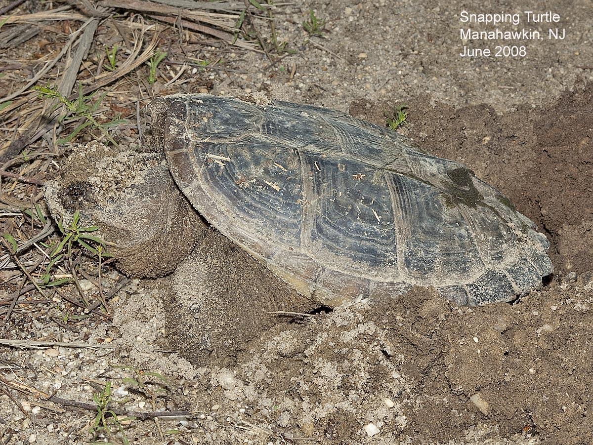 northwest nature notes pacific northwest turtles