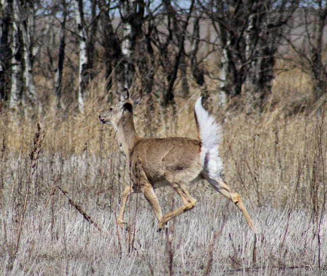 the northern white tailed deer in north america White-tailed deer inhabit a wide range of habitats from north temperate to subtropical and semi-arid environments in north america  america and northern.