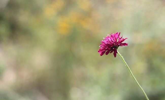 Knautia Flowers Pictures