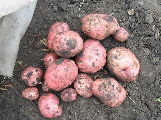 vkusniogorod – картофель поздний