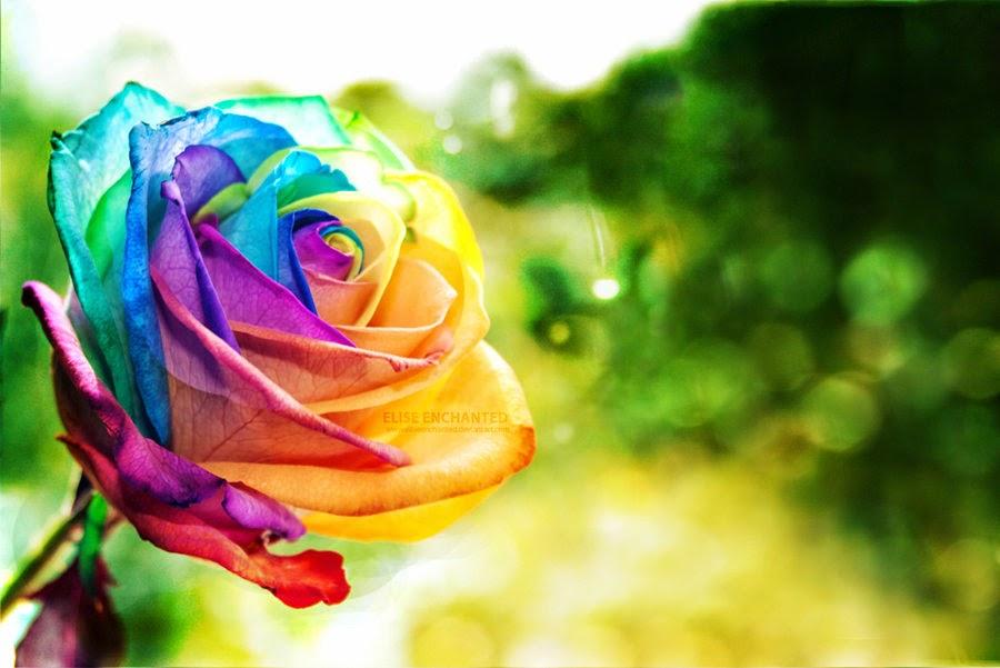 flor rosa arcoiris