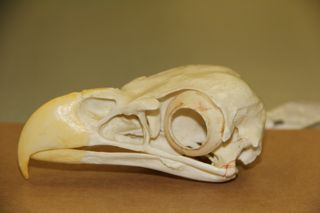 photo of raptor skull