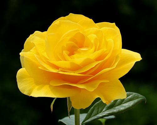 Avenger blog yellow rose flower yellow rose flower mightylinksfo