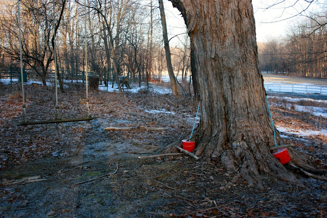 tapping Maple Sugar trees