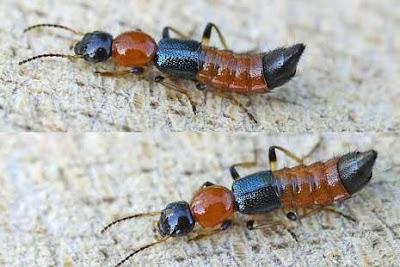 resiko serangga tomcat