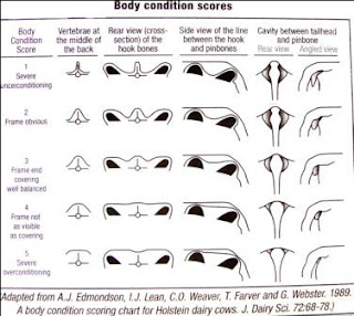 PENGERTIAN BODY CONDITION SCORE (BCS)