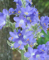 Jacob's Ladder flowers