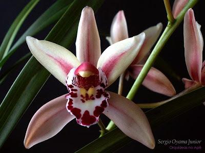 Orquídea Mini Cymbidium híbrido