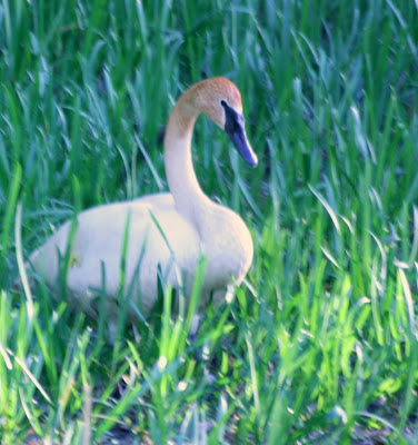 The nesting swan @ Hendrie Park, RBG, Burlington, ON :: All Pretty Things