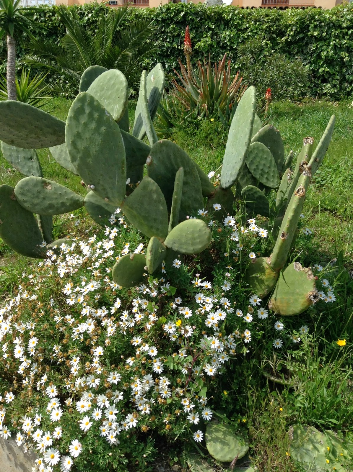 Daisies and Opuntia... a soft & thorny plant combination!