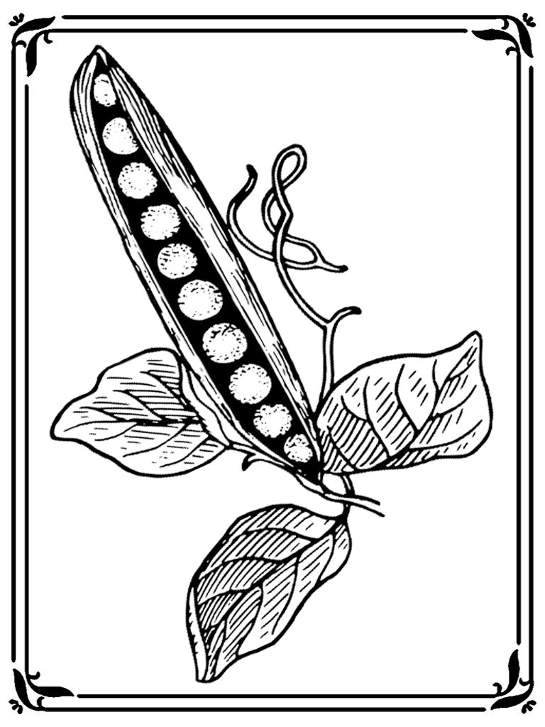 Sweet pea flower coloring pages realistic coloring pages for Sweet pea coloring pages