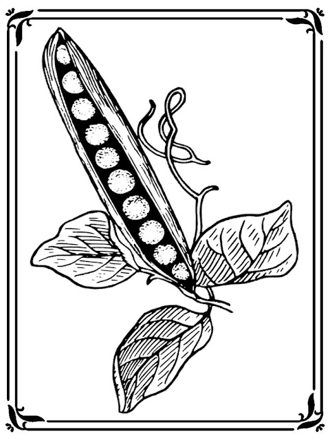 sweet pea flower coloring pages