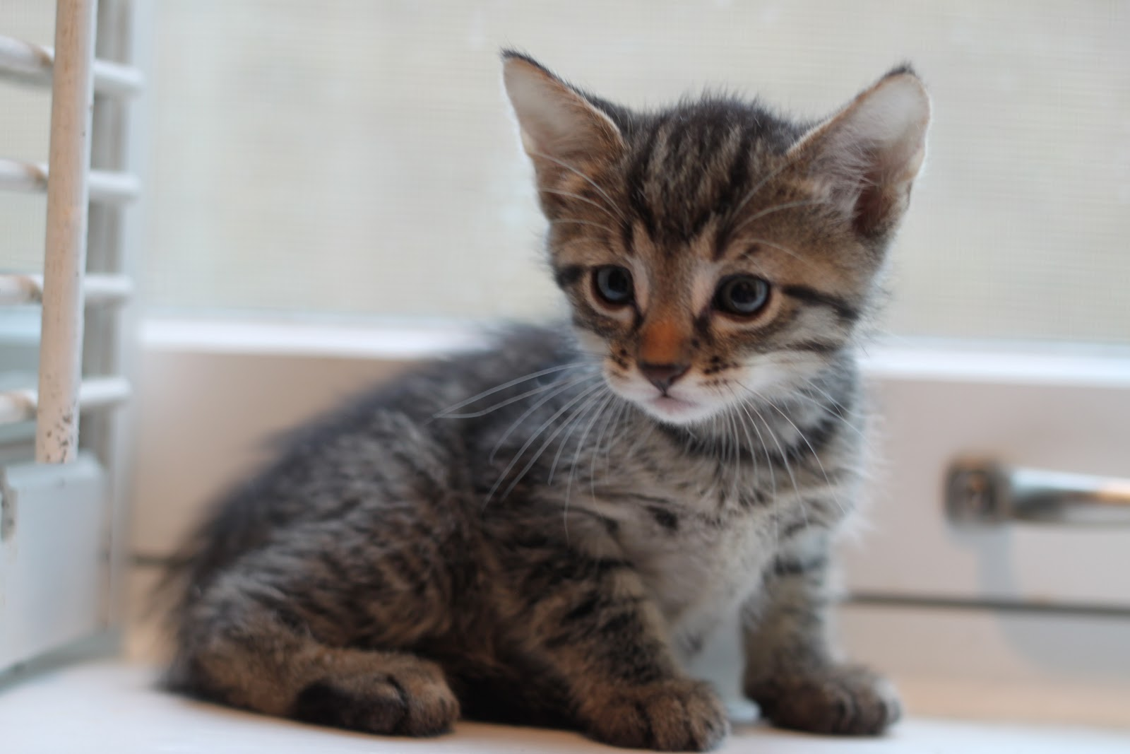 20 Best Of Baby Kittens for Adoption | Kittens cute wallpapers