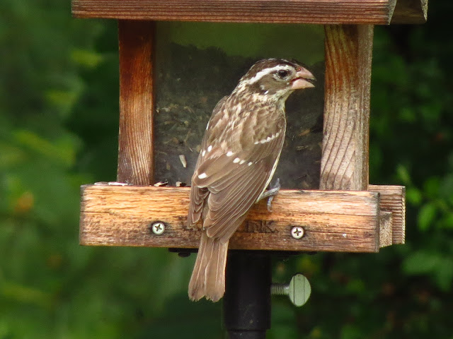 rose breasted grosbeak female on feeder