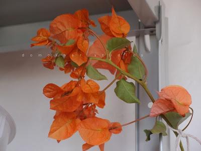 оранжевата бугинвилия особнячка