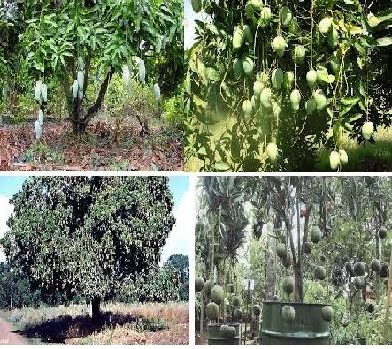 Rezeki itu Ibarat Pohon Mangga