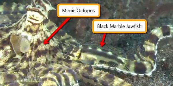 Mimic Octopus Transformation Remember The Mimic Octopus we