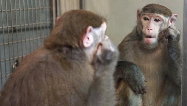 Macacos podem aprender a reconhecer-se no espelho