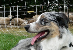 Read about Riley at the Kingston Sheep Dog Trials