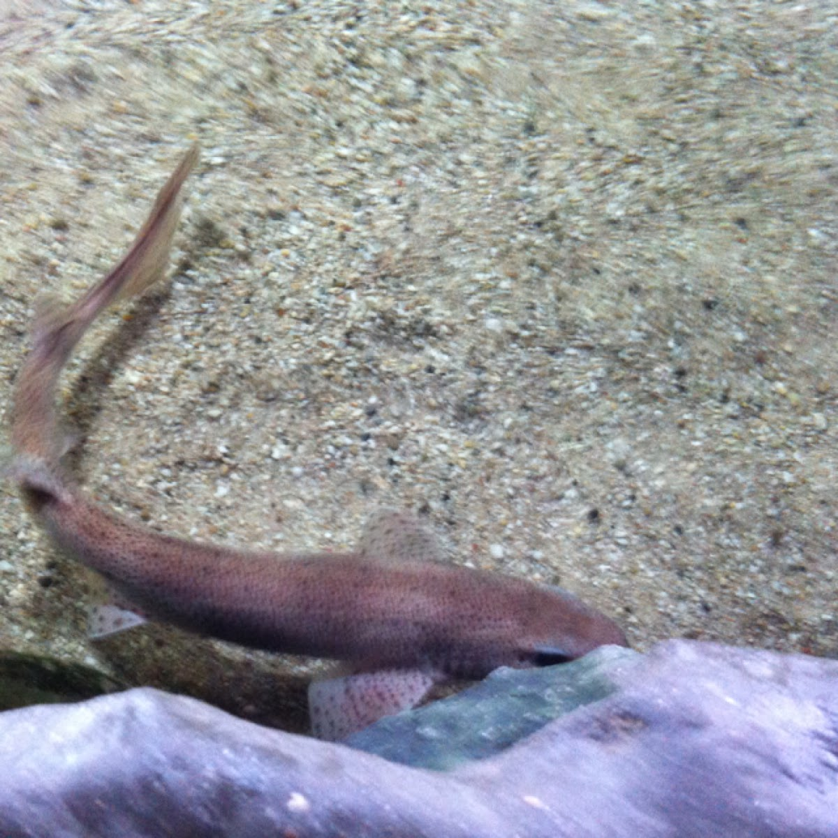Dr frankinspain goes fishing small spotted catshark or for Water dog fish
