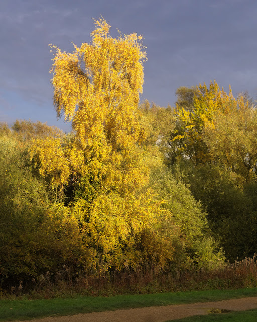 Birch tree with yellow foliage towers above hedge