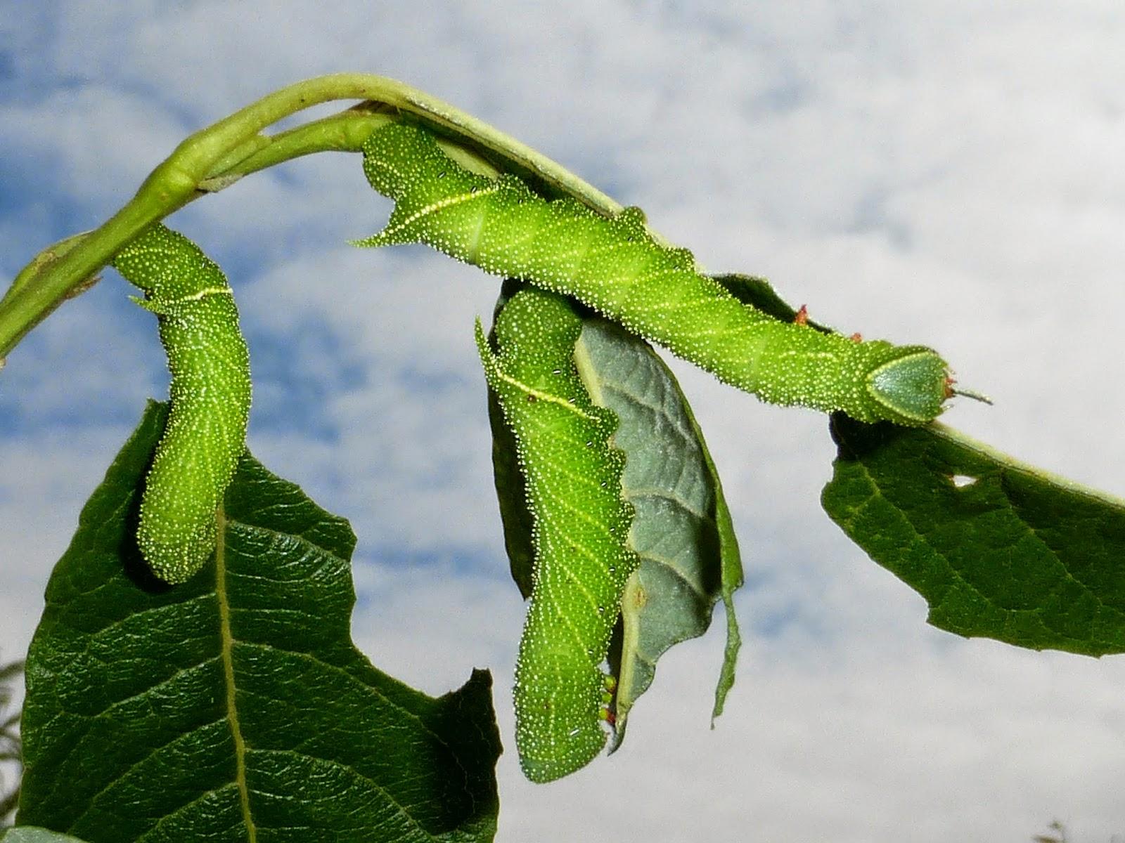 Paonias excaecatus caterpillar L3
