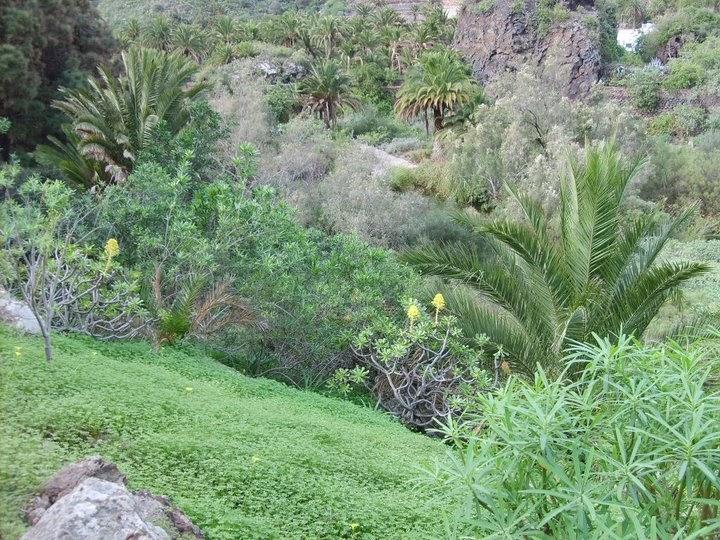 Especies amenazadas de canarias los investigadores del for El jardin canario