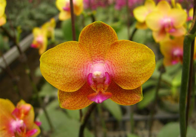 Phalaenopsis Flowers Pictures