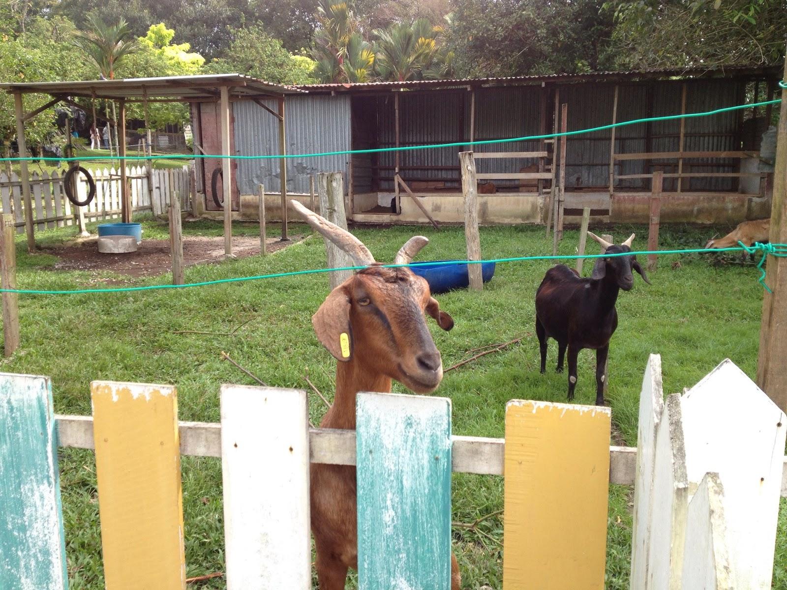 kambing yg minat ngan maid aku