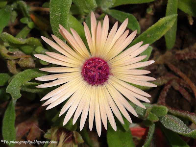Livingstone daisy