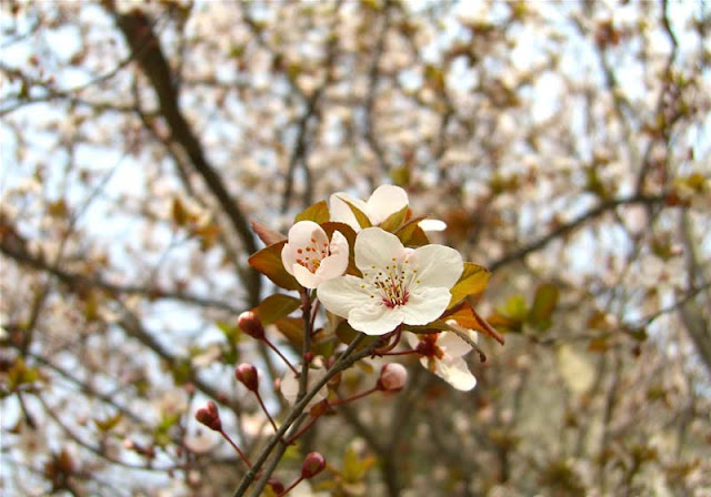 Cherry Plum Flowers Pictures