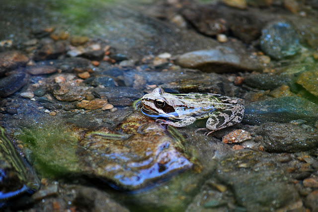 Close-up of frog in water and reflections removed using polarizing filter