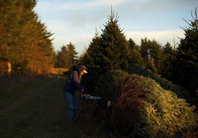 Cara Pokok Krismas Sebenar Di Hasilkan Di Carolina