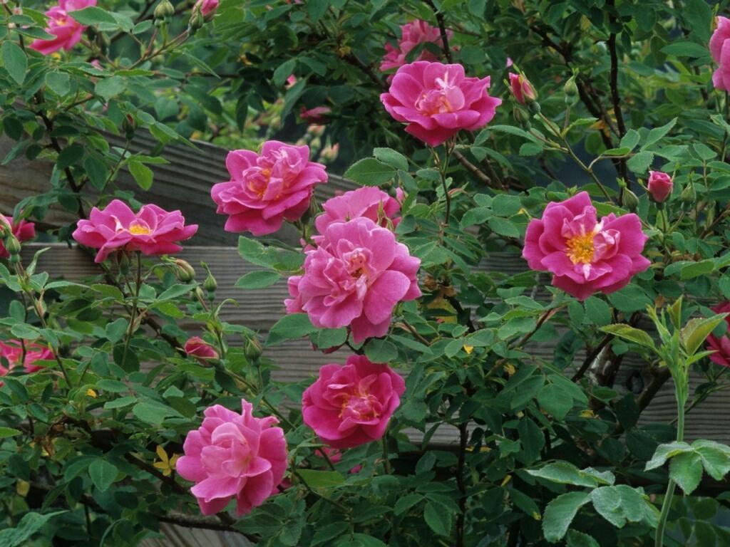 desktop wallpaper rose flowers: Flowers For Flower Lovers.: Rose Flowers Desktop Wallpapers
