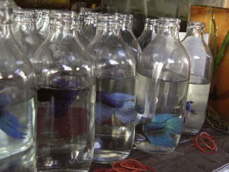 Betta splendens quelle eau pour mon betta splendens robinet min rale osmos e - D ou provient l eau du robinet ...