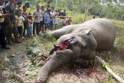 Gajah mati diracun