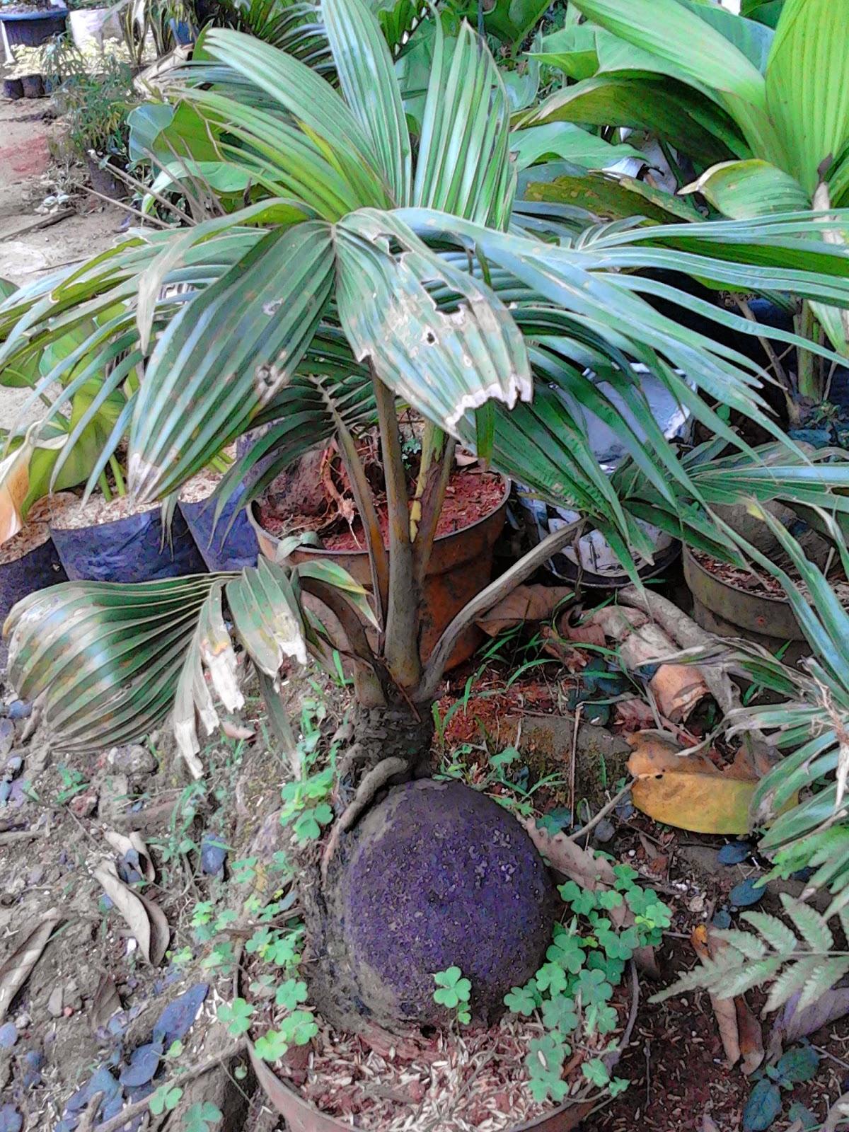 Jual bonsai kelapa | miniatur pohon kelapa | suplier tanaman | tanaman hias | jasa desain taman