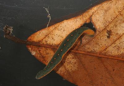 sanguijuela de agua dulce Macrobdella decora