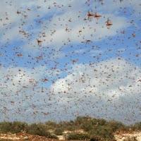 plaga de langostas en vuelo