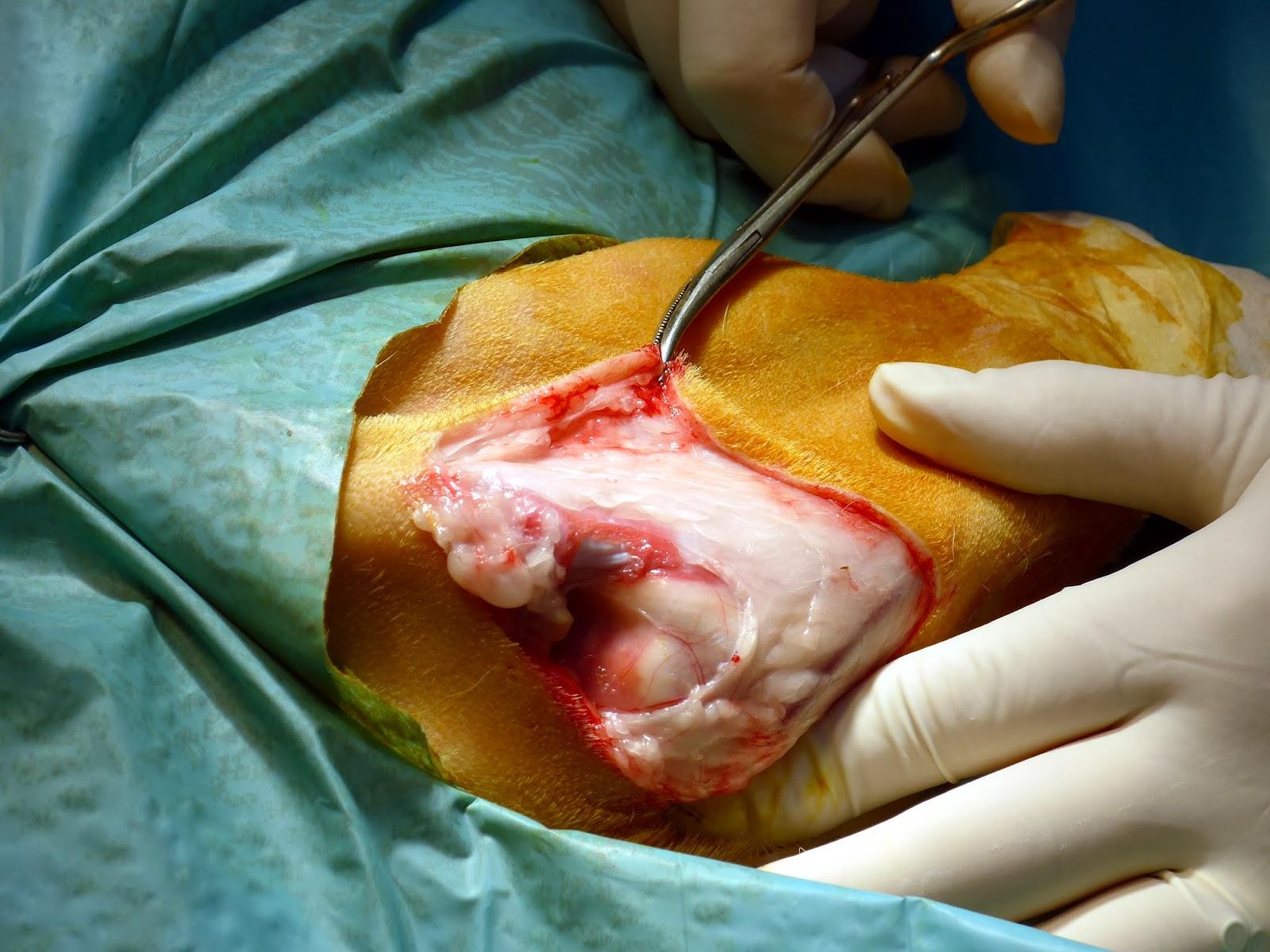amputacion etremidad anterior perro