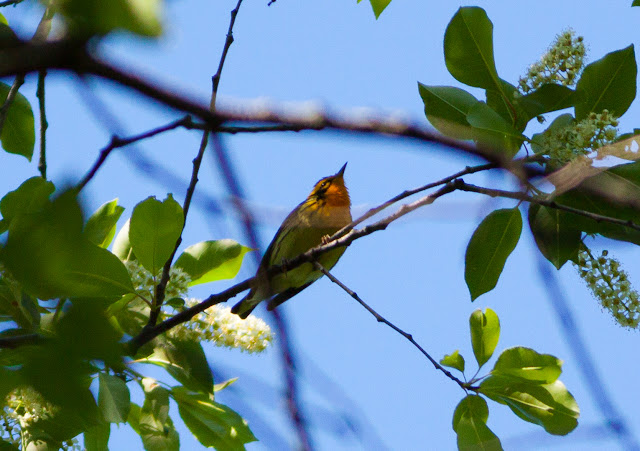 Blackburnian Warbler - Prospect Park, New York