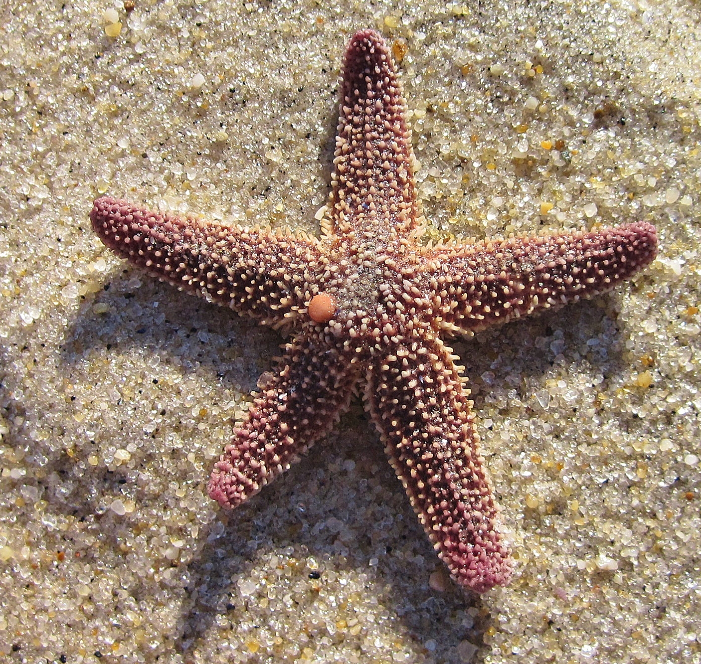 Whilethe Forbes Sea Star is probably the most common sea star along ...