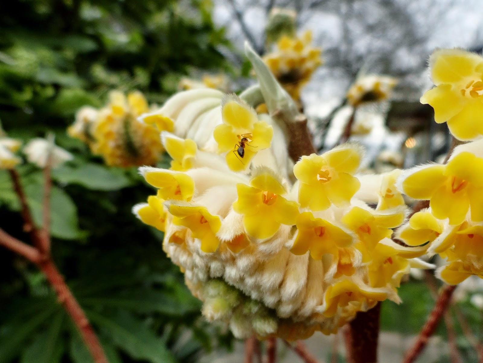 Danger garden february bloomday 2015 for Edgeworthia chrysantha