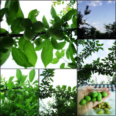 """Unripe fruits of """"Prunus cerasifera is a species of plum known by the common names cherry plum and myrobalan plum.[2] It is native to Europe and Asia. Corcodușul (Prunus cerasifera, sinonim P. divaricata), denumit și Myrobalan sau Bomb, este o specie de plante care aparține genului Prunus, nativă din centrul și estul Europei, sud-vestul și centrul Asiei."""""""