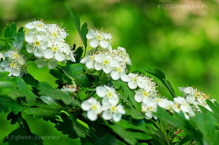 Wiosna! Kwitnąca śliwka. Białe kwiaty na drzewku owocowym.