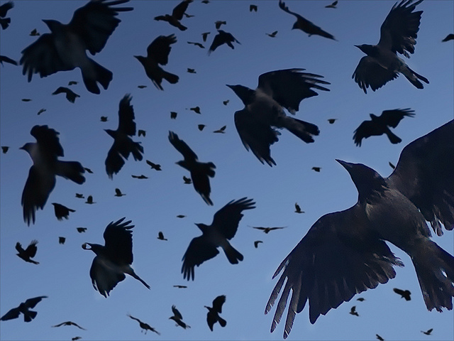 White Wolf : 6 Amazing Truths About Crows (Video) A Crow Left Of The Murder