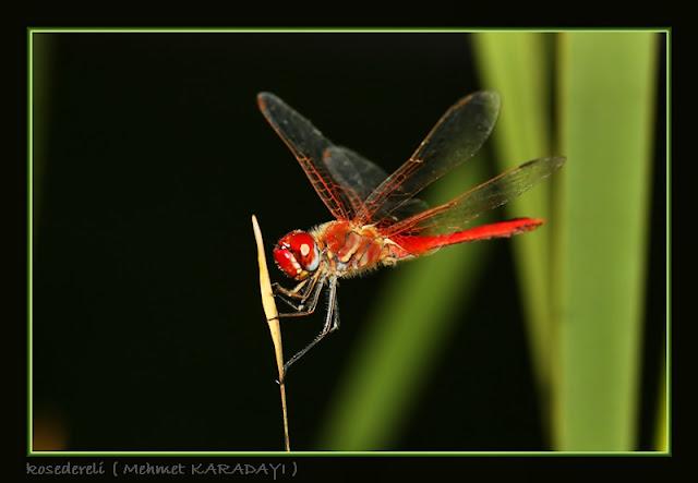 yusufçuk