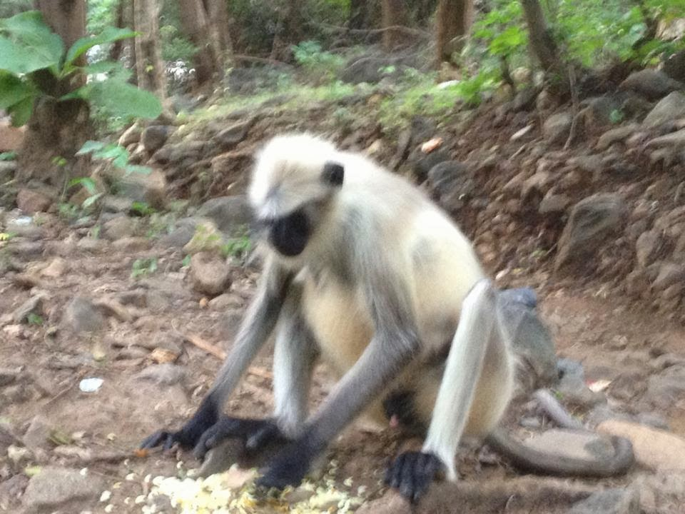 monkey in nice pose junagadh
