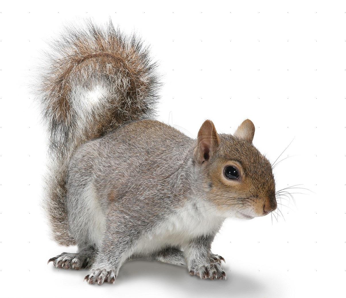 gray squirrel wallpaper - photo #17